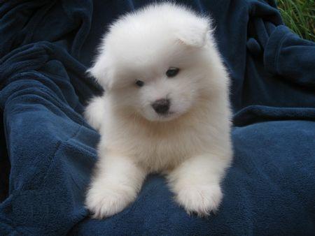 1000  images about Puppy on Pinterest | Samoyed puppies, Samoyed ...
